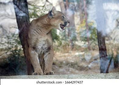 Predatory cat puma in the wild