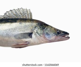 Predatory fish zander ((Sander lucioperca), tasty and appreciated by anglers prey.