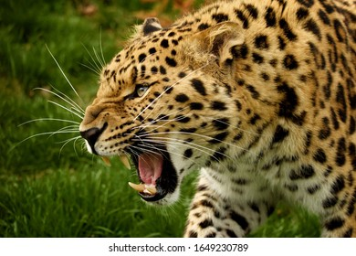 The predatory leopard growls and gets angry.