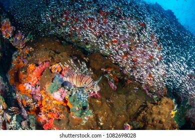 A predatory Lionfish hunting at dawn on a colorful tropical coral reef