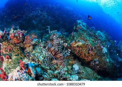 Predatory Lionfish hunting at dawn on a tropical coral reef
