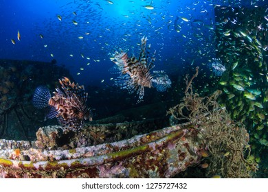 Predatory Lionfish and other tropical fish swim around an underwater shipwreck (Boonsung, Thailand)