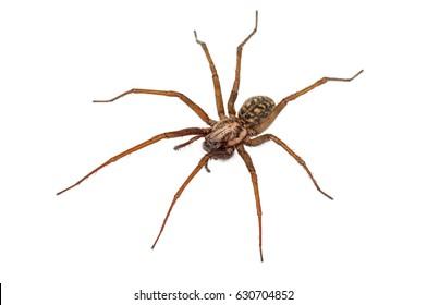 predatory spider isolated on white