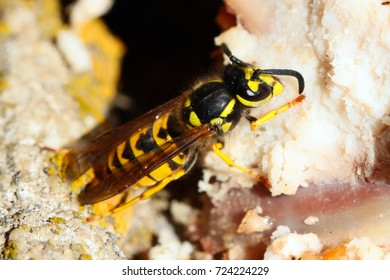 predatory wild dangerous wasp is eating the meat of a dead animal