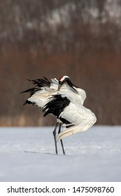 Preening adult Red-crowned Crane (Grus japonensis) standing on a snow covered meadow on the island Hokkaido in Japan during winter.