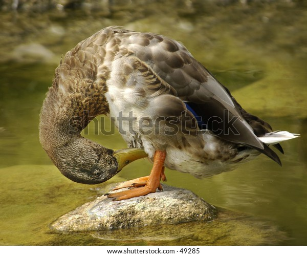 Preening duck.