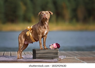 pregnant american pit bull terrier dog portrait outdoors with a ribbon