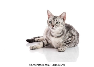 Pregnant American Short hair cat lying on white background isolated
