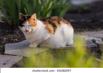 Pregnant cat color tortie with white