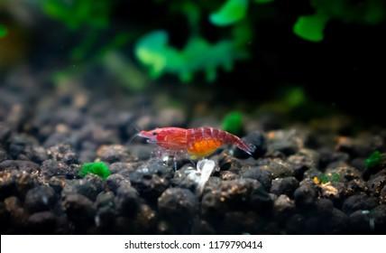 Pregnant cherry dwarf shrimp in aquarium tank with shrimp molt