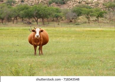 Pregnant cow in a grassland