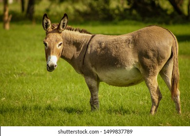 A pregnant donkey at a farm pasture.