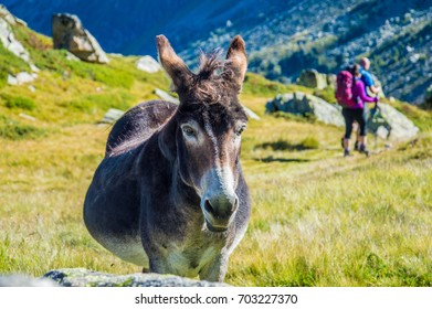 Pregnant donkey with hikers in the background
