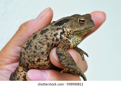 Pregnant European Toad, Bufo bufo, in spawning Period