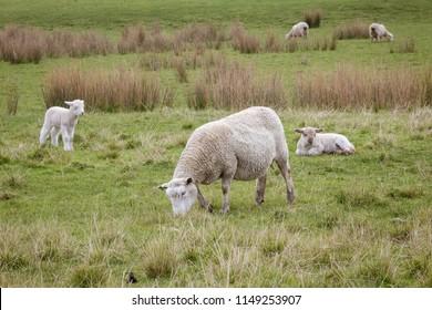 Pregnant ewe sheep with lamb, Gisborne, New Zealand