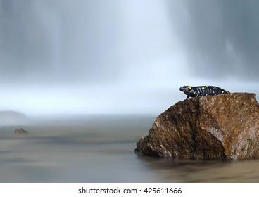 Pregnant female fire salamander