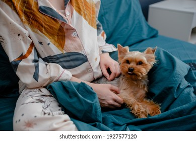 Pregnant female petting york dog. Womand and a dog laying in bed. Taking care concept. Top horizontal view copyspace.