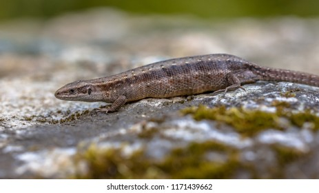 Pregnant or gravid female of Viviparous lizard or common lizard (Zootoca vivipara) resting on a stone