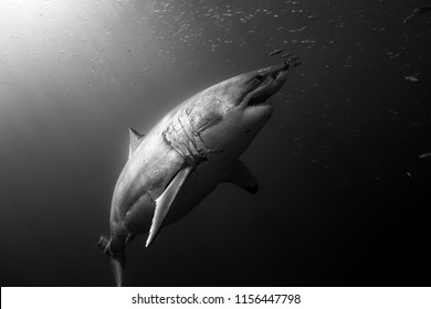 A pregnant great white shark rises towards the surface of the clear waters with sun rays illuminating her and pilot fish hover closely