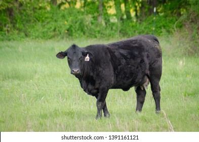 pregnant heifer cow in grassy field