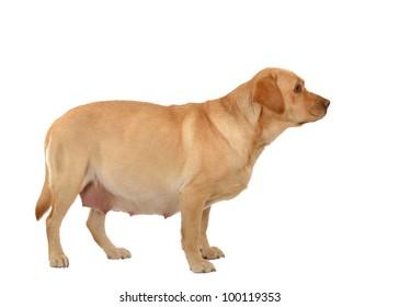 Pregnant Dog Images Stock Photos Vectors Shutterstock