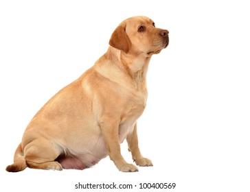 pregnant labrador retriever isolated on white
