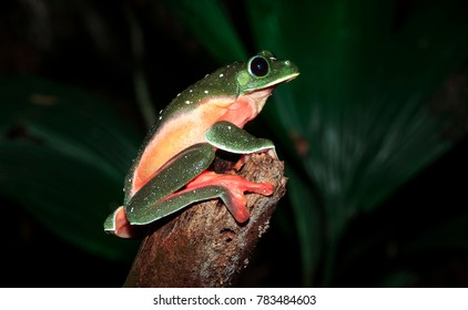 A pregnant Morelet's treefrog (Agalychnis moreletii) photographed at night in the Columbia River Forest Basin, Belize.