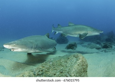 Pregnant Ragged Tooth  / Sand Tiger Sharks filmed at Sodwana Bay Quarter Mile Reef on Rebreather scuba equipment