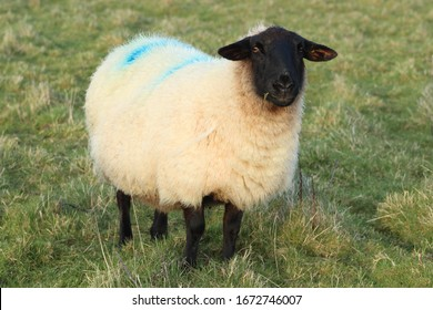 Pregnant Suffolk-breed ewe in field on farmland in rural Ireland