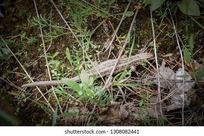 Pregnant viviparous lizard, Zootoca vivipara, in the wild nature