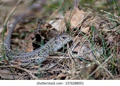 Pregnant viviparous lizard, Zootoca vivipara, in the wild nature