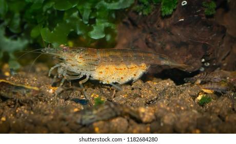 Yamato Shrimp Images, Stock Photos & Vectors | Shutterstock