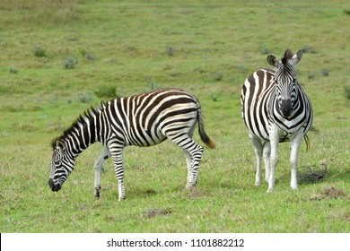 A pregnant Zebra standing with grazing foal in the wild in South Africa