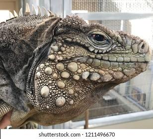 Prehistoric dinosaur appearance in the face of an endangered Cuban rock iguana (Cyclura nubila)