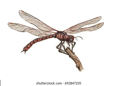 Prehistoric dragonfly Meganeura monyi sits on branch - realistic scientific color illustration, white (no background)
