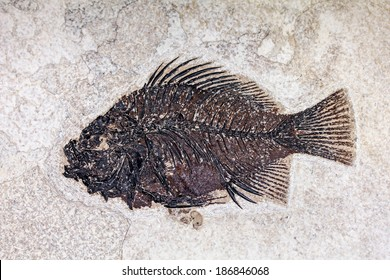 Prehistoric fossil fish.