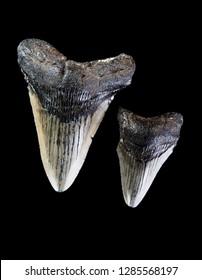 Prehistoric Megalondon Shark teeth around 45 million years old.