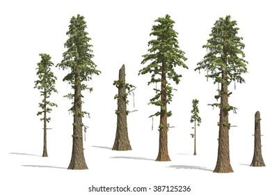 Prehistoric Sequoia tress render on white background.