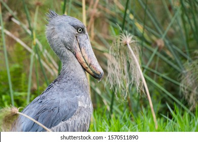 Prehistoric-looking Shoebill Stork in the Mabamba Swamps of Lake Victoria at Entebbe, Uganda, Africa.
