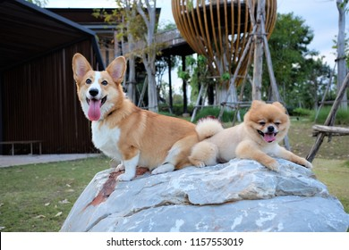 500 Prembroke Welsh Corgi Pictures Royalty Free Images Stock