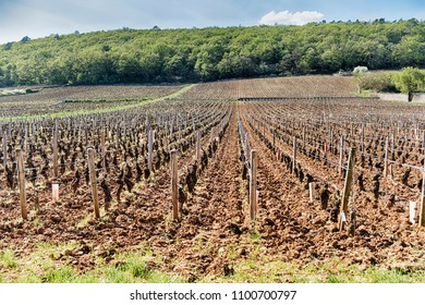 A premier cru vineyard leading up a gently sloping hill to a forest shows the typical terroir of the Cote de Nuits in the Burgundy region of France.