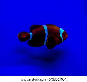 Premnas biaculeatus, commonly known as spine-cheeked anemonefish or the maroon clownfish