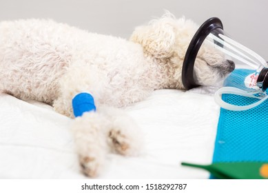 Preoxygenation in a sedated white poodle with a mask prior to intubation .