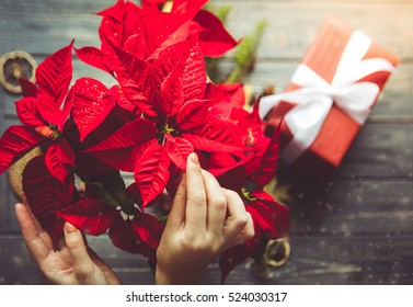 preparation for christmas woman holding poinsettia flowers festive dreamlike mood - Red Christmas Flowers