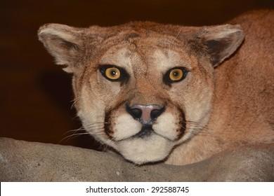 Prepared Puma