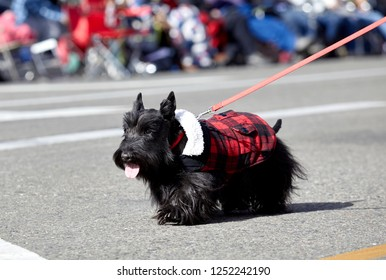 Prescott, Arizona, USA - December 1, 2018: Small black dog wearing a jacket marching in the Christmas parade in downtown Prescott