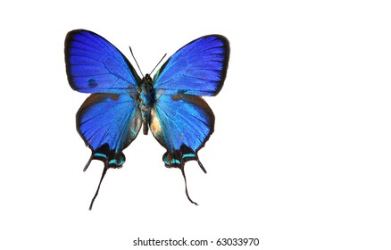 A preserved Blue Swallowtail butterfly, Papilio ulysses