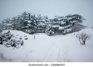 Preserved Cedar trees from the Tannourine reserve forest are covered by the fresh winter snow and create a seasonal landscape, in Lebanon.
