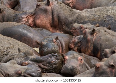 The press of adult and juvenile hippos as they have to tolerate such close presence for weeks on end as the dry season progresses but they have to tolerate the conditions as its the only wallow around