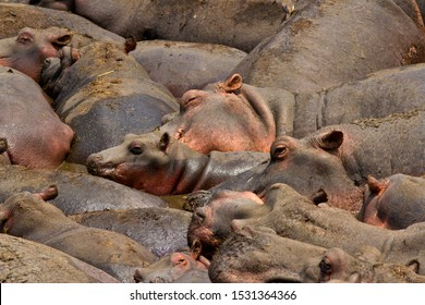 The press of adult and juvenile hippos as they have to tolerate such close presence for weeks on end as the dry season progresses but they have to tolerate the conditions as its the only wallow area